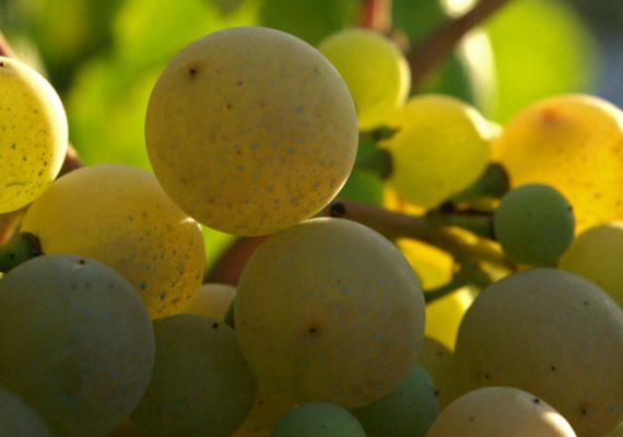 Variedades de uva en @Vinopremier: Xarel·lo