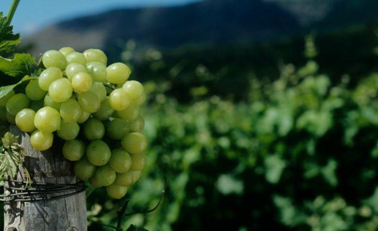 Variedades de uva en @Vinopremier: Malvasía