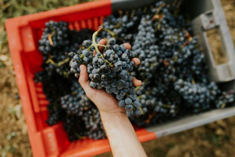 ¿Cuáles son las cepas de uvas más cultivadas?