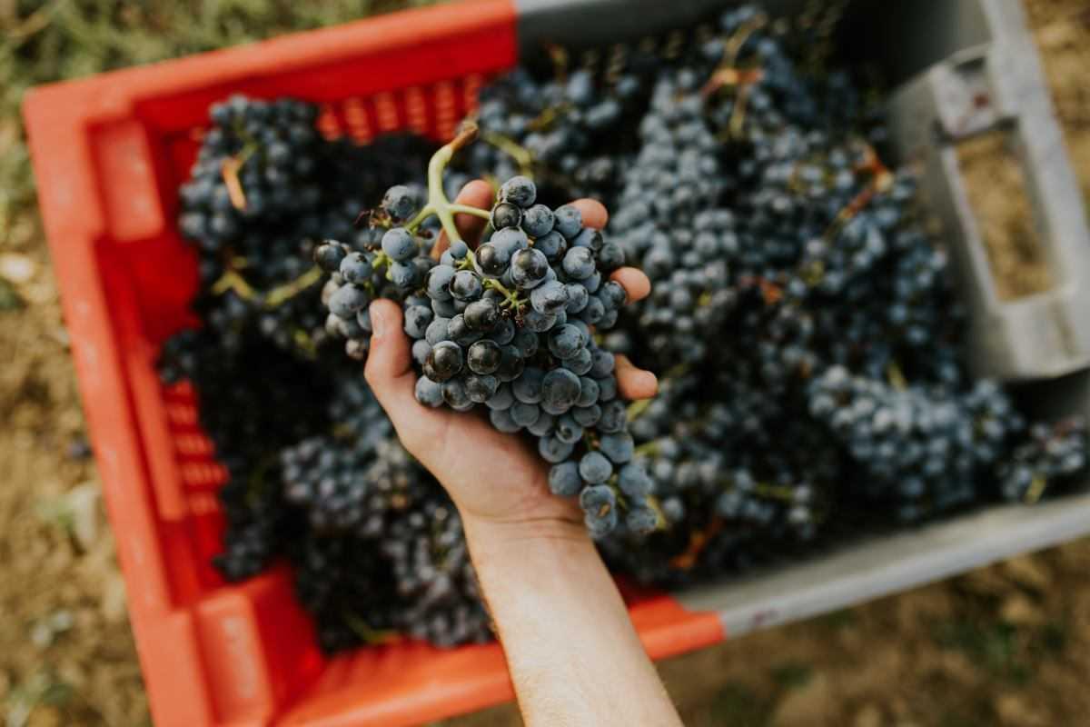 uvas-vinopremier